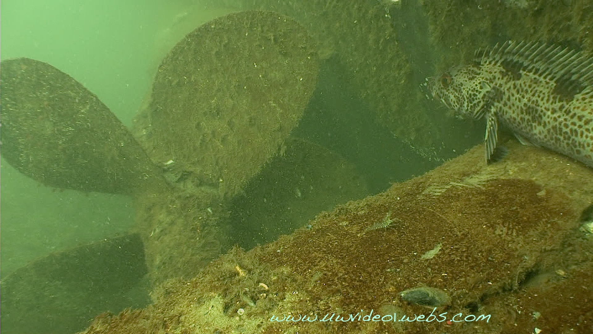 Lingcod on propeller