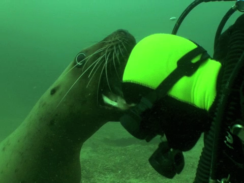 Stellar Sea Lion and Diver